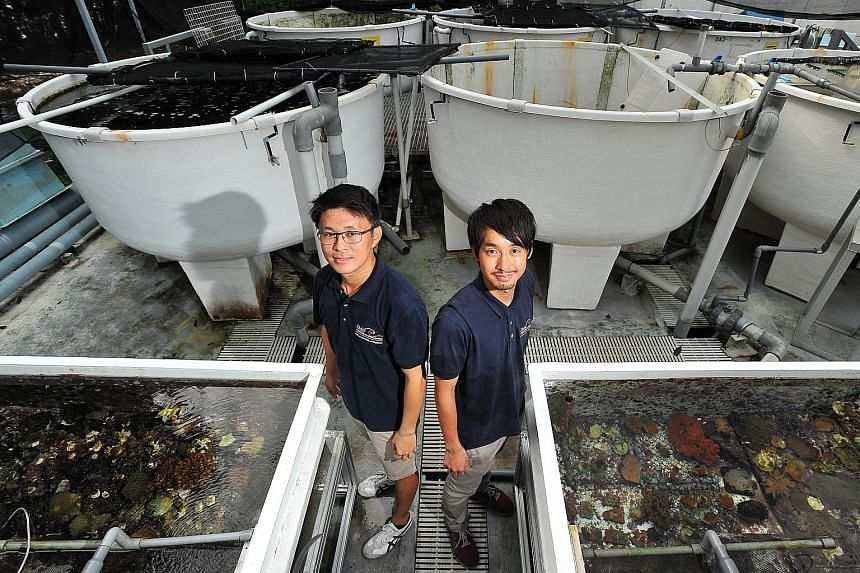 Research assistants Lionel Ng (far left) and Daisuke Taira at the outdoor aquarium of the Tropical Marine Science Institute (above) on St John's Island. They are part of a team of eight marine biologists tending to the two coral nurseries off Lazarus