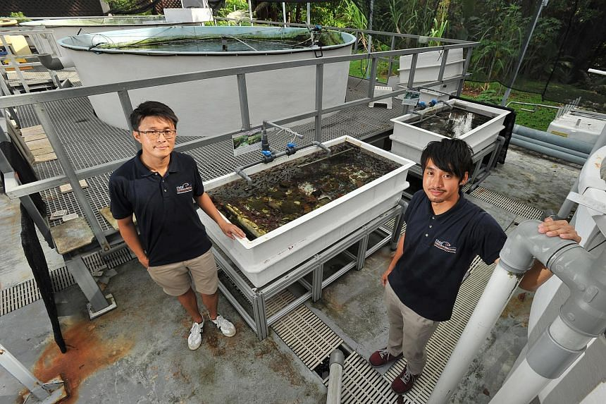 Research assistants Lionel Ng (left) and Daisuke Taira are part of the team tending the coral nurseries.