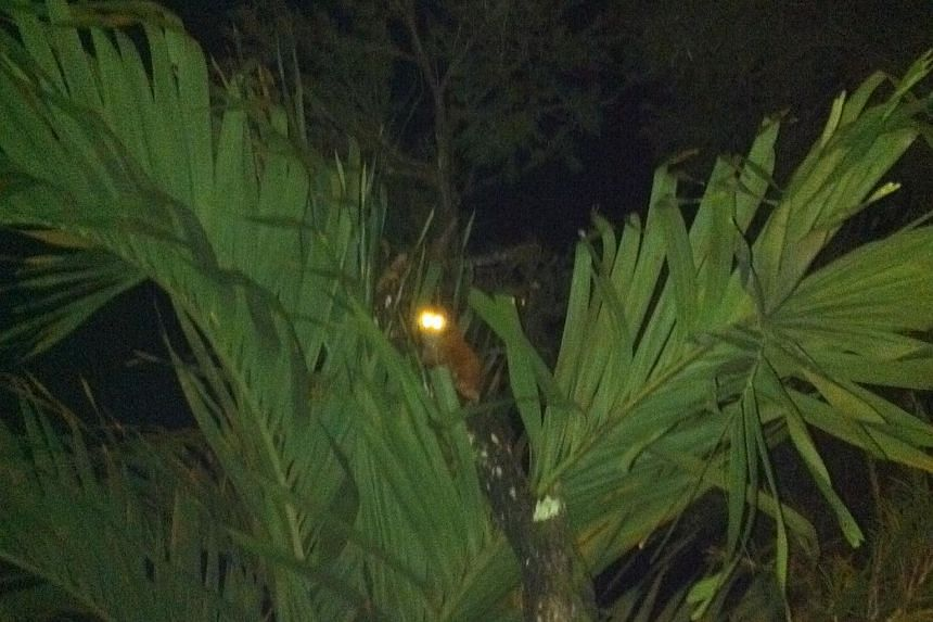 A photograph of a Sunda slow loris in a tree, taken by a resident of Teacher's Estate, showing that the forest denizens can co-exist with the residents. The forest next to the estate is home to many animals, including the critically endangered banded