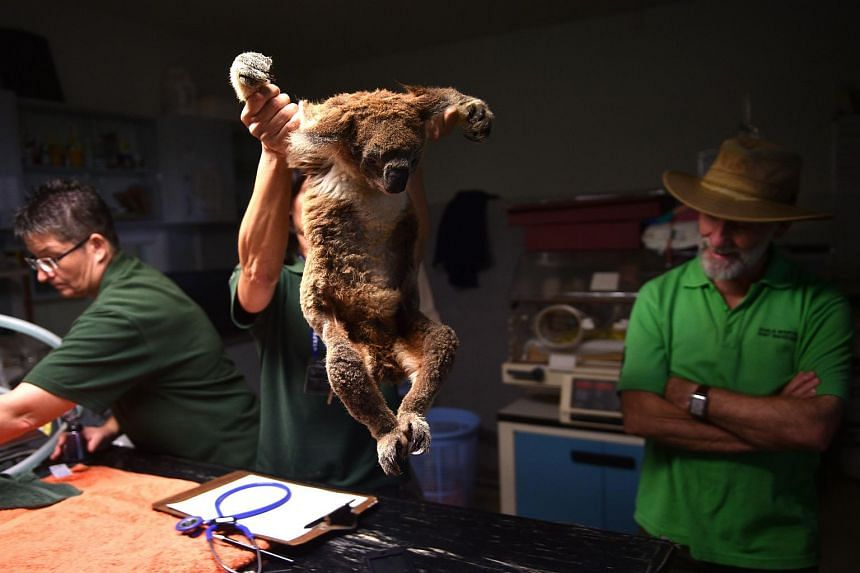 Sherwood Robyn, a 12-year-old koala (centre) is picked up by volunteer Amanda Gordon after being examined at the Koala Hospital in Port Macquarie on April 28.