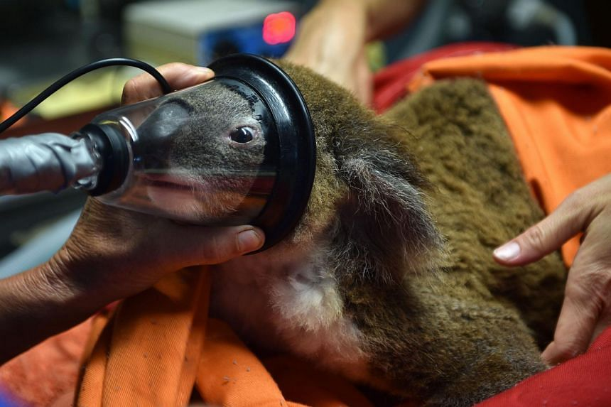 Sherwood Robyn koala is given a general anesthetic before being examined by Cheyne Flanagan, clinical director at the Koala Hospital in Port Macquarie on April 28.