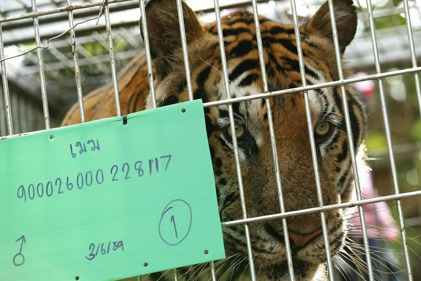 Tiger male 'Mak' inside a cage after he was tranquilised to be moved by Thai National Park officials from the Tiger Temple in Kanchanaburi province, Thailand, on June 3.