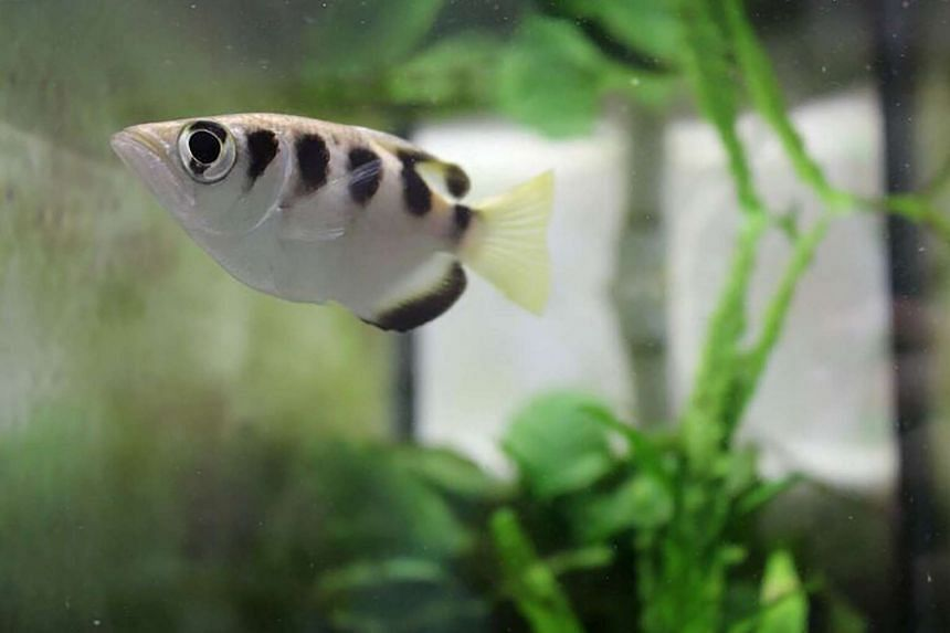 An archerfish in its aquarium at a laboratory in Oxford, on June 7, 2016.