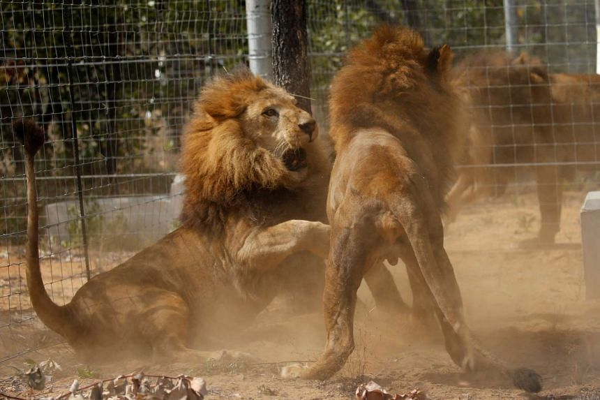 Some of the 33 lions rescued from circuses in Peru and Columbia are seen as they fight after being released at the Emoya Big Cat Sanctuary on May 1, 2016.