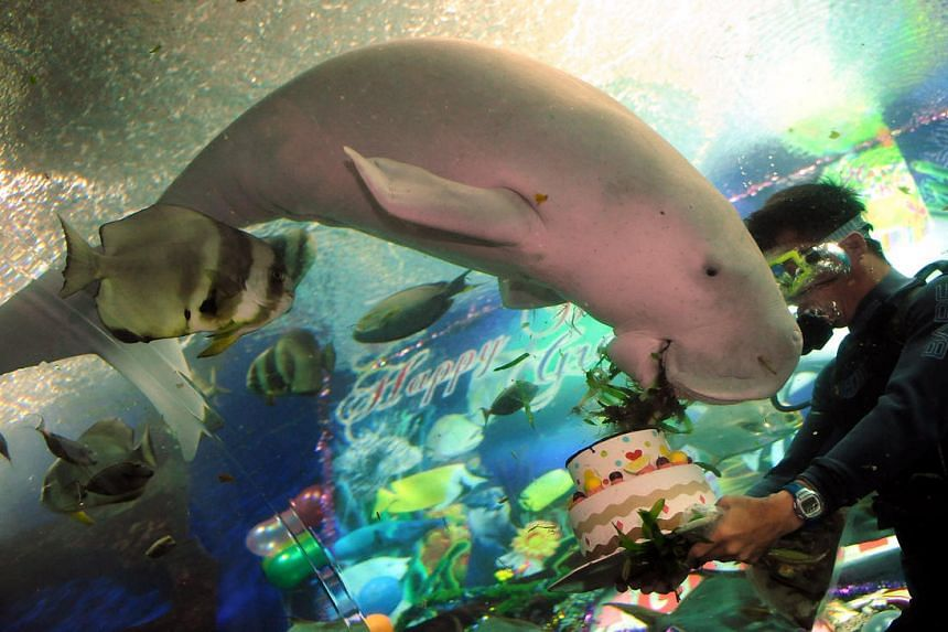 A trainer holding a birthday cake topped with sea grass for Gracie the dugong at the Underwater World Singapore in 2009.