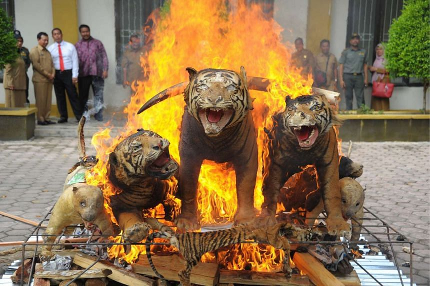 Stuffed Sumatran tigers, ivory and other wildlife trophies seized during recent raids are set on fire by Indonesian officials in Banda Aceh on May 23, 2016.