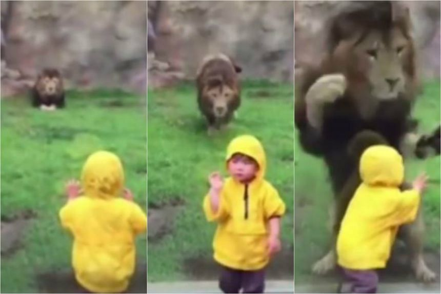 The lion was on the two-year-old boy in a flash, after he turned his back on it.