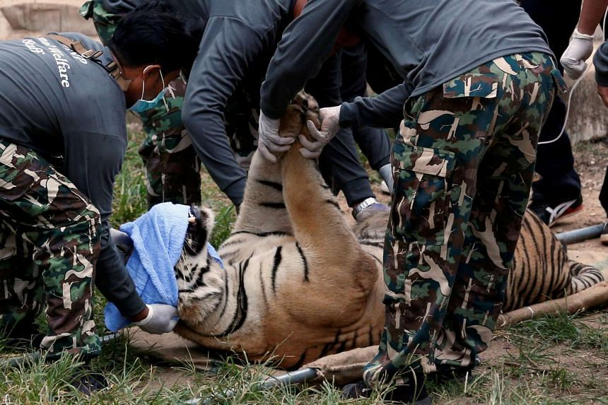 A sedated tiger is stretchered as officials start moving tigers from Thailand's controversial Tiger Temple in the Kanchanaburi province, west of Bangkok, Thailand on May 30, 2016.