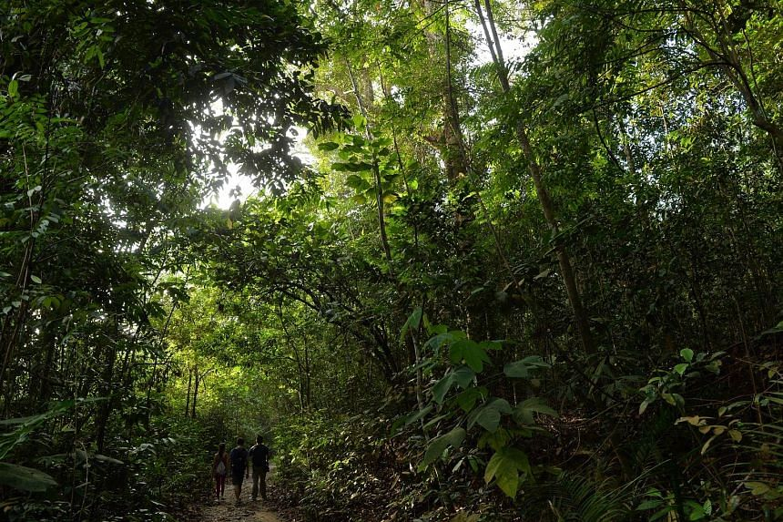 Hikers trekking along the Rifle Range Link. The planned 50km Cross Island Line connecting Changi and Jurong could tunnel through the Central Catchment Nature Reserve, where rare animals, such as the critically endangered Sunda pangolin, can be found.