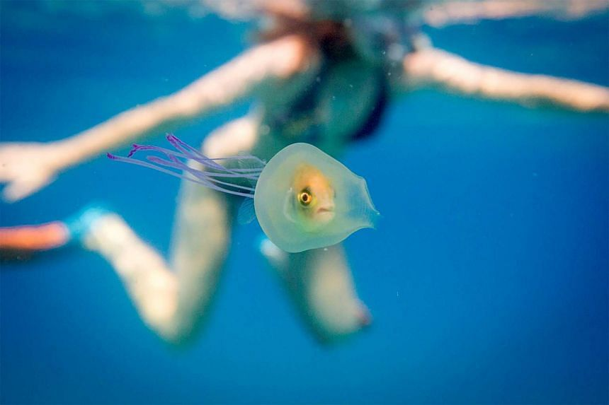 A small fish swimming inside the belly of a jellyfish off the coast of Byron Bay in New South Wales