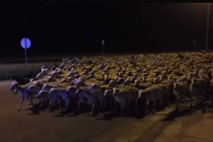 A screenshot from a video posted to Facebook by Huesca police of the sheep invasion.