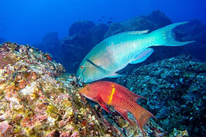 A normally healthy interaction between fish and coral has turned deadly, scientists have found after a three-year study to understand the impact of overfishing and nutrient pollution on coral reefs. In typical conditions, parrotfish (top in picture)
