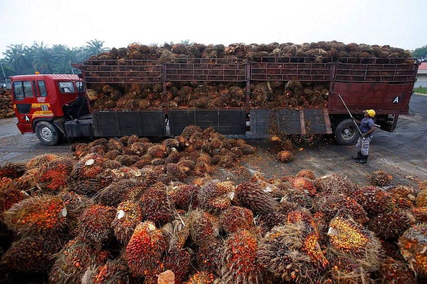 A worker unloads palm oil fruits from a lorry inside a palm oil factory in Salak Tinggi, outside Kuala Lumpur on Aug 4, 2014.