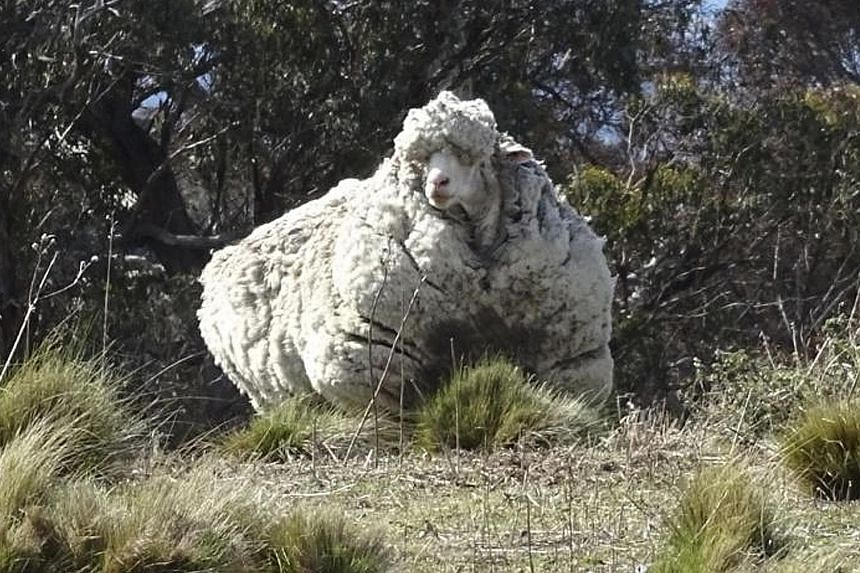 A sheep bearing some 40kg of fleece after going on a walk lasting years. It was finally shorn in Canberra last year. Livestock specialist Phil Graham said the weight of mature ewes in Australia has risen by 15kg between 1990 and 2010.