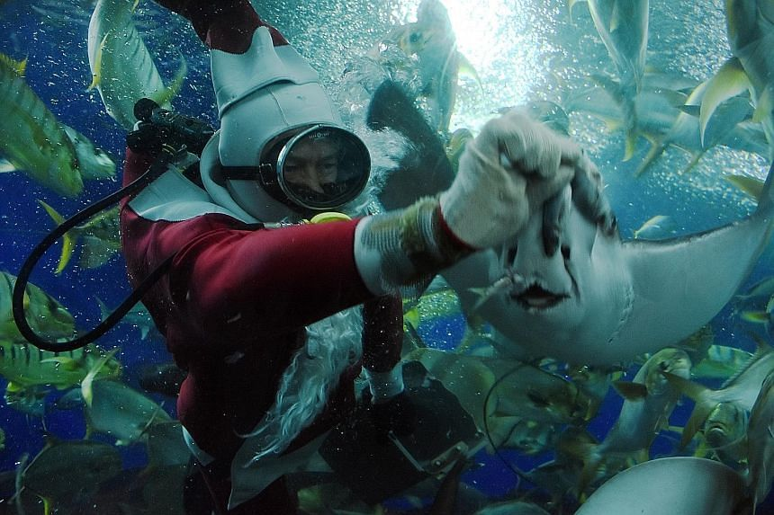 """Mr Chan makes sure the fishes are fed on schedule. During festive periods, he would, for instance, don a Santa Claus costume to feed his """"babies"""" (above)."""