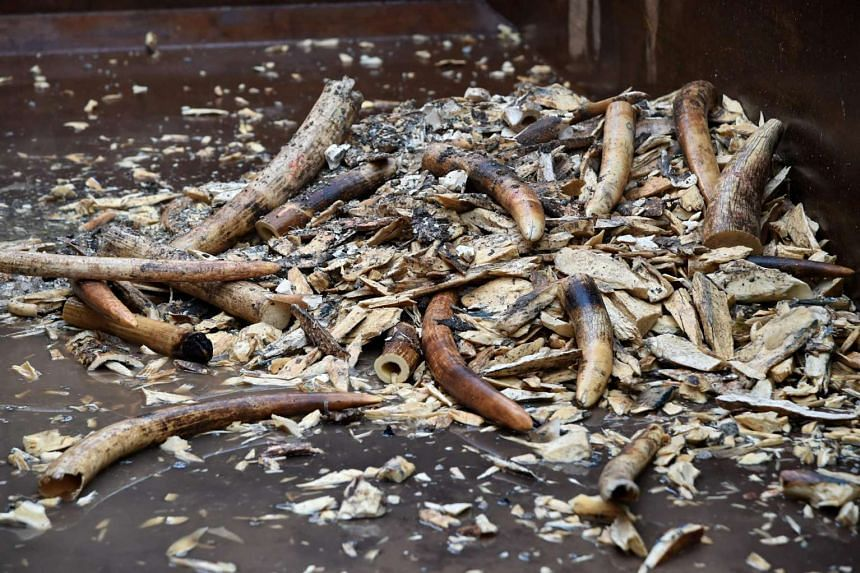 Some of the destroyed illegal ivory by a rock-crusher machinery in Singapore on June 13.