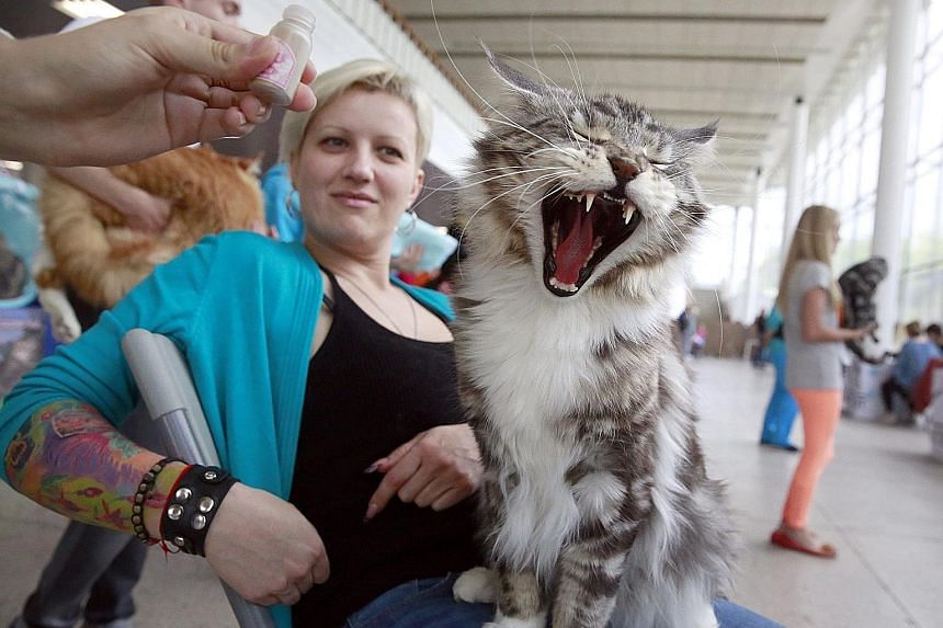 A woman with her Maine Coon cat during the World Cat Show - 2016 international exhibition in Minsk, Belarus, on Sunday. The exhibition for cat lovers displayed more than 300 cats and featured cat activities, competitions and shows.