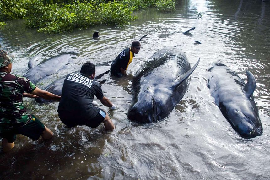 Indonesian soldiers and residents attempt to move dead pilot whales that were stranded on the coast of Probolinggo, East Java, Indonesia on June 16, 2016.
