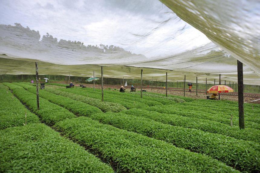 A Lim Chu Kang vegetable farm.