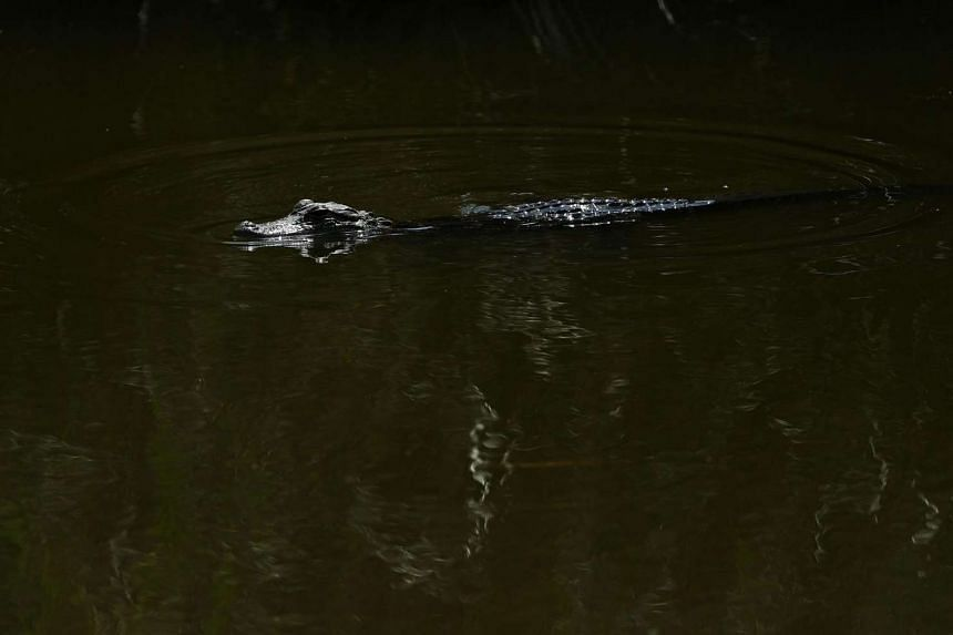 An alligator on May 13, 2016, in Ponte Vedra Beach, Florida.