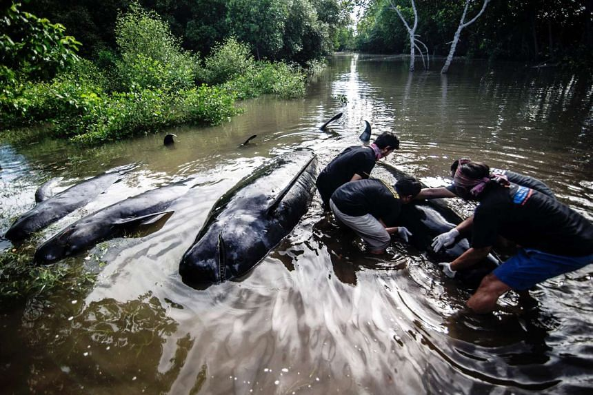 Indonesian environmental activists try to help a group of short-finned pilot whales who came ashore during a high tide in Probolinggo, East Java province on June 16, 2016.