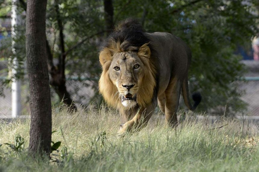 A lion at the Kamla Nehru Zoological Garden in Ahmedabad on May 23.