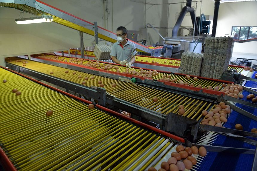 Eggs being inspected, checked, processed and packed at Seng Choon Farm in Lim Chu Kang. AVA chief executive Tan Poh Hong said the 20-year lease tenure will provide more certainty to farms and enable them to invest in intensive, highly productive technolog