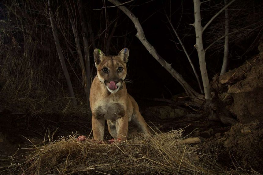 A file photo of a mountain lion in the Santa Susana Mountains in Southern California.