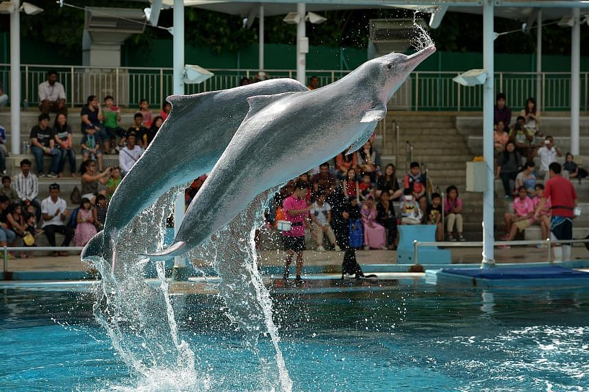 A pair of pink dolphins performing at Underwater World Singapore. The 25-year-old oceanarium will close next week as the lease on its premises nears expiry and it faces stiff competition from the Marine Life Park and Dolphin Island at Resorts World Sentos