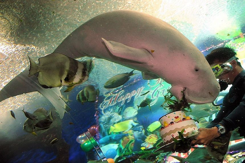 Conservation Efforts: Gracie the dugong was taken in by UWS in 1998 after its mother drowned off Pulau Ubin. Gracie lived at UWS until 2014 when it died of an acute digestive disorder.