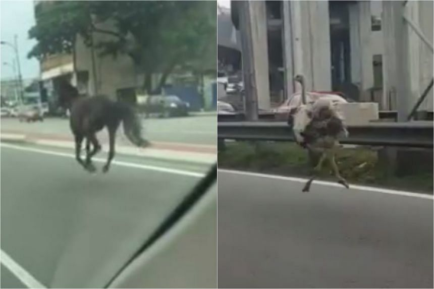 The runaway horse was spotted on Sunday (June 19), just days after Chickaboo the ostrich made waves online.