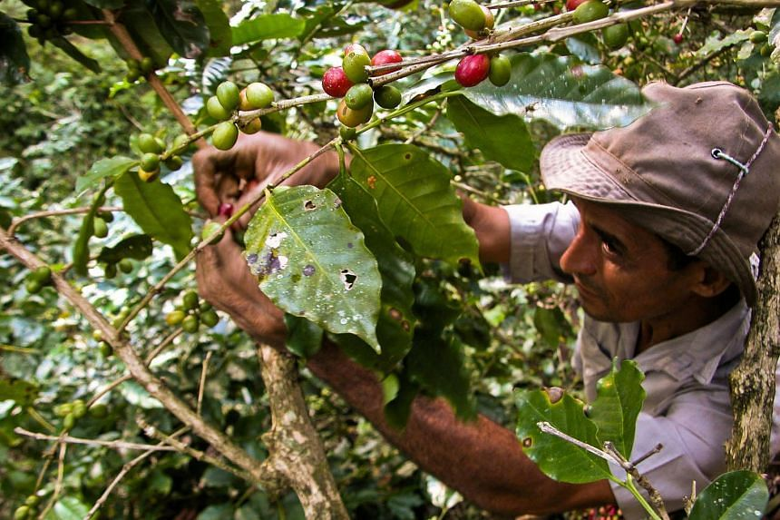 A Cuban worker picking coffee beans at a plantation on the Sierra Maestra Mountains, in the eastern province of Santiago de Cuba, in 2010.