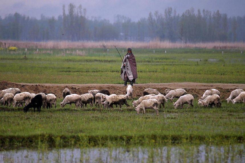 A Kashmiri farmer watches his sheep as they pasture beside a flooded paddy field in Srinagar, India on April 4.
