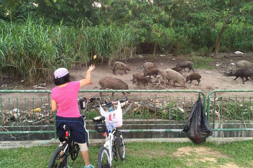 A woman throws food to wild boars in a fenced area at Pasir Ris Coast Industrial Park 6, near the Lorong Halus wetland.