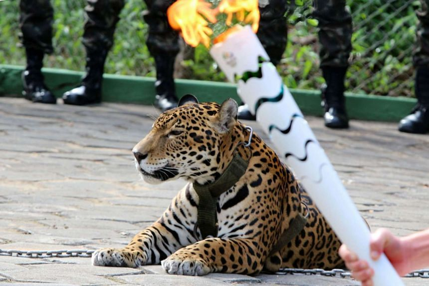 Jaguar Juma is pictured during the Olympic Flame torch relay in Manaus, Brazil, on June 20, 2016.