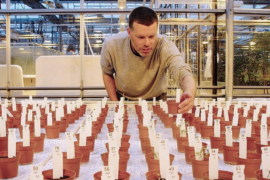 Ecologist Wieger Wamelink inspecting the plants grown on soil similar to that on Mars at the Wageningen University.
