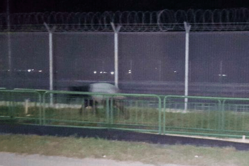 A tapir was seen near the coast at Changi at about 4.30am on June 24, 2016.