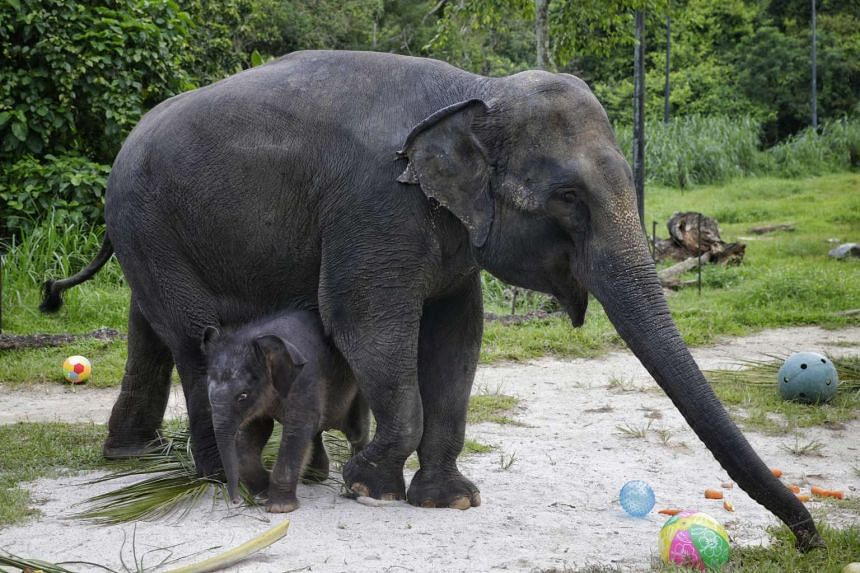 The month-and-a-half-old baby elephant, who has yet to be named, with her mother, Sri Nandong at the Night Safari on June 28, 2016.