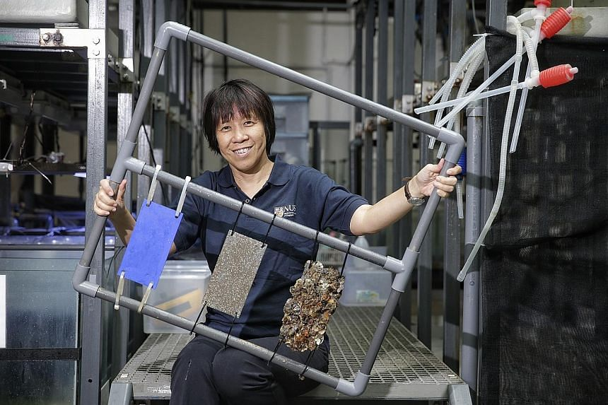 Dr Teo with some samples (from left): a panel with protective coating to prevent biofouling; a panel without the coating after a month of exposure to marine pests; and a panel without the coating after a year of exposure.