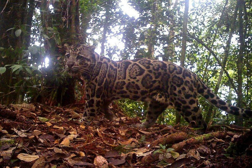 A male Sunda clouded leopard, photographed at around 1,300m above sea level in Crocker Range Park in Sabah, Malaysian Borneo, in 2011. The species is listed as vulnerable. Creatures sighted using camera traps include (from left) an otter civet in Sab