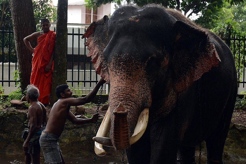 Mahouts giving an elephant a bath at a temple in Colombo. In March, a Buddhist monk was arrested for keeping a two- year-old elephant at his temple in Colombo, but he has denied any wrongdoing.
