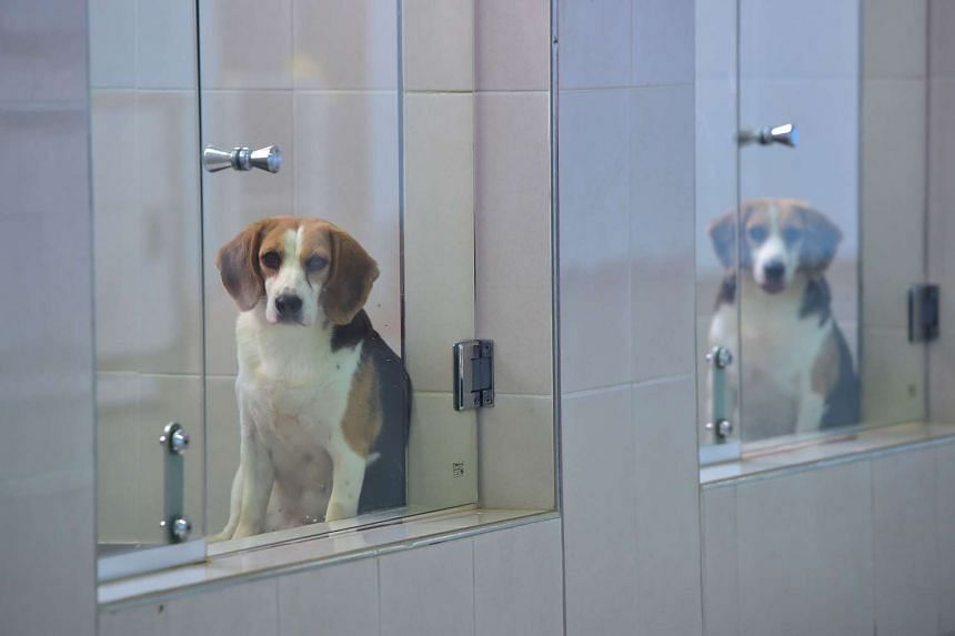 Cloned dogs in glass-fronted pens at a care room of the Sooam Biotech Research Foundation, a world leader in pet cloning, in Seoul on June 29, 2016.