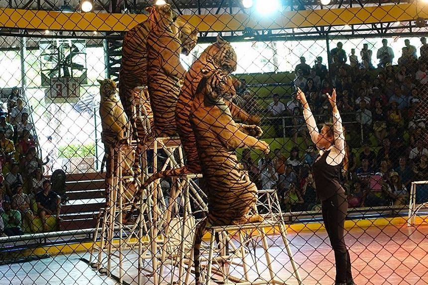 The tiger show at Sriracha Tiger Zoo in Sri Racha city on the outskirts of Pattaya.