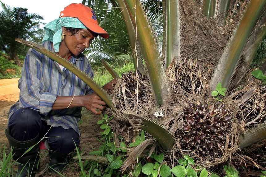 A oil palm plantation in Malaysia. As part of a Gabon government plan to develop cash crops, Olam is offering to send aspiring Gabonese farmers on training courses in countries including Malaysia. The global agri-business has partnered with Gabon to