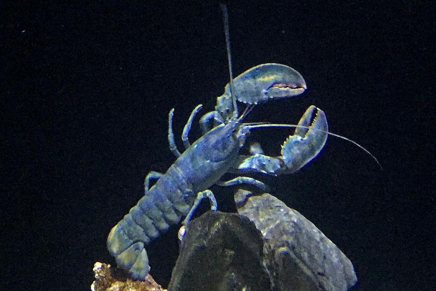 The S.E.A. Aquarium is Asia's first aquarium to showcase the American blue lobster.