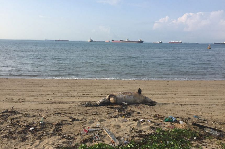 A dolphin carcass that washed ashore along East Coast Park on Wednesday (July 6) was still there on Thursday morning.
