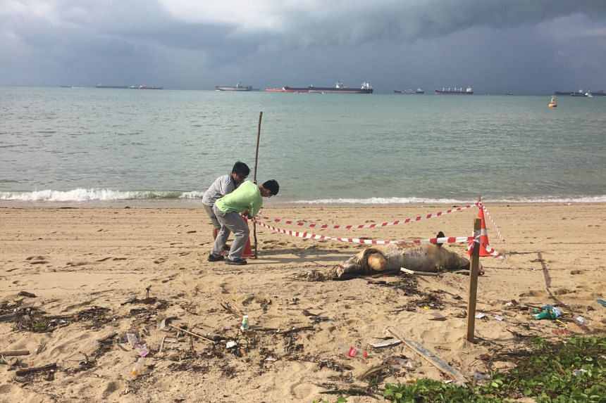 Staff from the National Parks Board seen cordoning off the 2m-long carcass on Thursday.