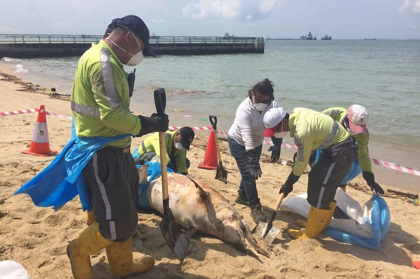 Workers from Ramky Cleantech Services wrapping up the dolphin carcass in plastic bags and canvas sheets.