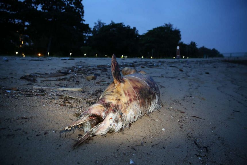 The National Parks Board and Lee Kong Chian Natural History Museum will decide on what to do with the dolphin's carcass today. Dolphins are not uncommon in waters off Singapore's southern shore.