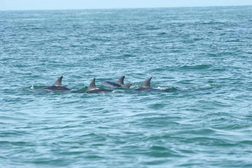 Wild dolphins spotted in the waters of Singapore in 2014.
